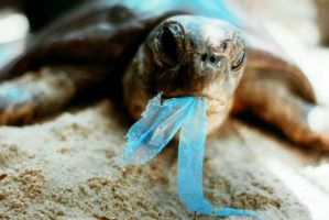 Turtle with Plastic in its Mouth